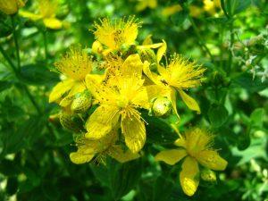 Зверобой - волшебная трава от 99 болезней