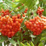 Эти осенние ягоды — против ста недугов: рецепты из рябины
