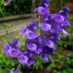 Очень полезное растение от гипертонии и болезней сердца