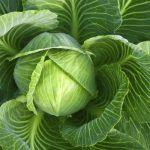 Лечение белокочанной капустой. Народные рецепты